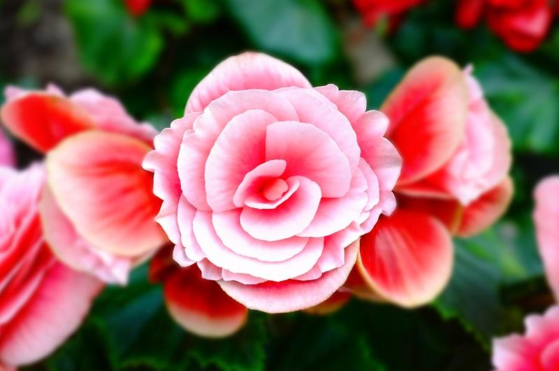 Blumen und ihre Bedeutung in verschiedenen Ländern